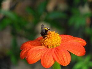шмель и цветок
