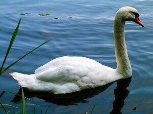 Лебедь - величественная и гордая птица.