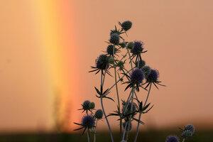 Синеголовник и радуга