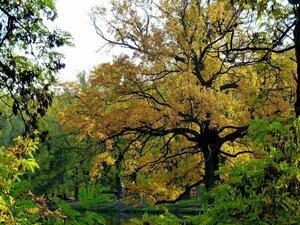 Расцвел могучий дуб осенней красотой!...